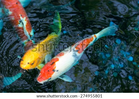 Red/white and gold koi carp swimming together