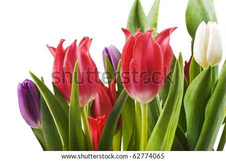 Red, white and purple tulips - close up - stock photo