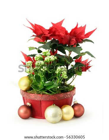 Red white Christmas flower decoration arrangement in pot - stock photo