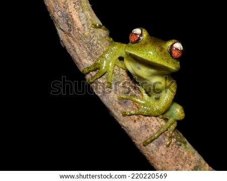 Red-white eyes treefrog (Aplastodiscus perviridis) - stock photo