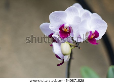 red white petal orchid focused on left side with out focused background