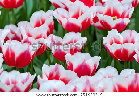 Red white tulips on the flowerbed in Keukenhof. Shallow depth of field.  - stock photo