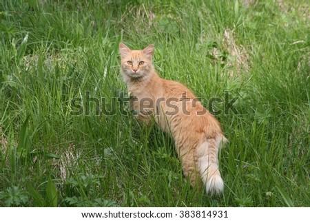Red wild Cat - stock photo