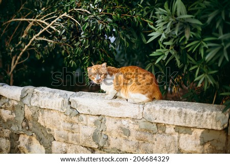 Red wild cat sitting on the stone wall at the street - stock photo