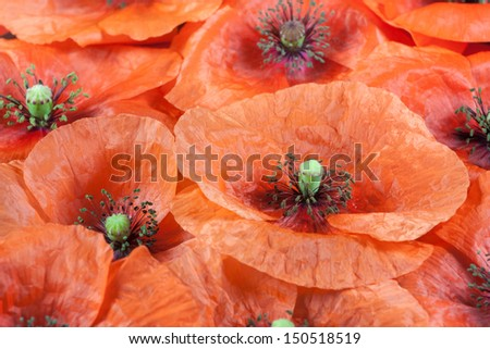 Red wild poppy flowers blooming - stock photo
