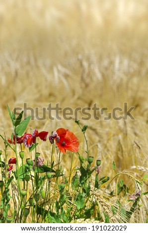 Red wild poppy in a cornfield - stock photo
