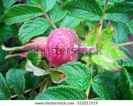 Red wild rose covered with large drops of rain - stock photo
