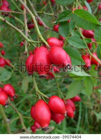 red wild rose hips close up - stock photo