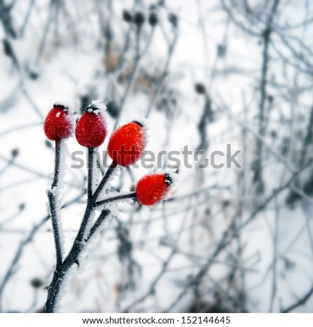 Red wild rose plant with ice crystals  - stock photo