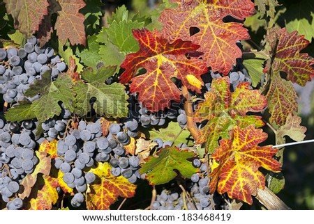 Red wine grape clusters with Autum leaves at harvest time.