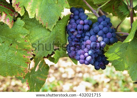 Red wine grapes growing Burgundy vineyard France. - stock photo