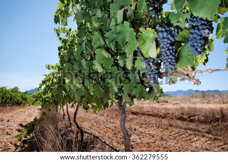 Red wine grapes in summer vineyard landscape - stock photo