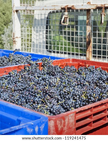 Red Wine Grapes on the Truck for transport to winery - stock photo