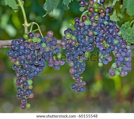 Red Wine Grapes on the Vine growing on Long Island's East End. - stock photo