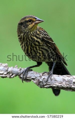 Red-winged Blackbird (Agelaius phoeniceus) perched on a branch with a green background