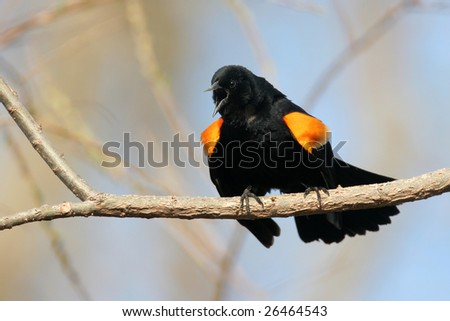 Red-winged Blackbird doing territorial song.