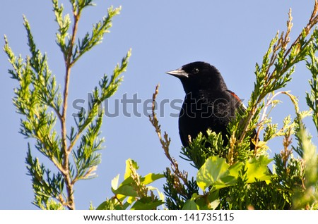 Red-Winged Blackbird Perched in a Cedar Tree