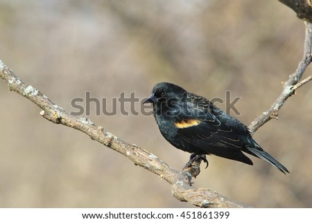 Red-winged Blackbird - Wild Birds from Missouri - Colors in Nature