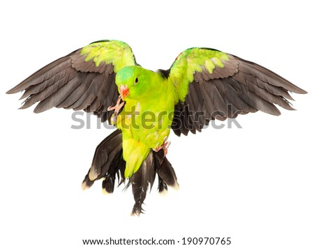 Red-Winged Parrot (Aprosmictus erythropterus). isolated on white background - stock photo