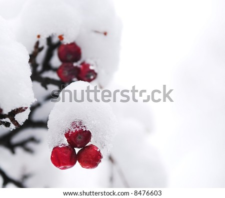 Red winter berries on a tree covered with fresh snow - stock photo