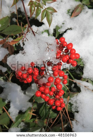 Red Winter berries surrounded by fresh snowfall. - stock photo