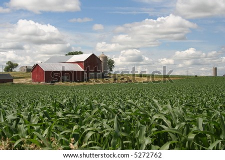 red Wisconsin dairy barn with cornfield