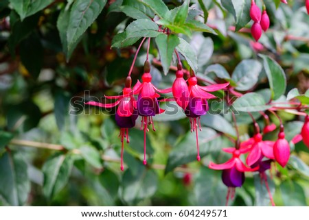 Red with Purple bells of fuchsia flowers in nature garden in Doi Inthanon Chiang mai Thailand