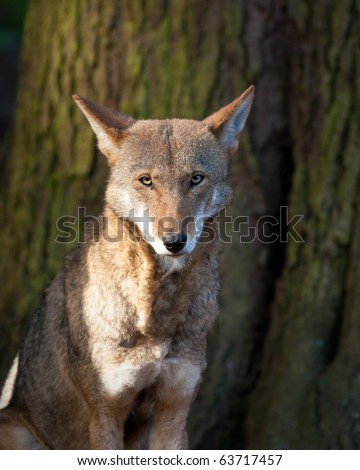 Red Wolf during the fall season - stock photo