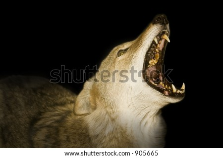 Red wolf howling in the darkness. - stock photo