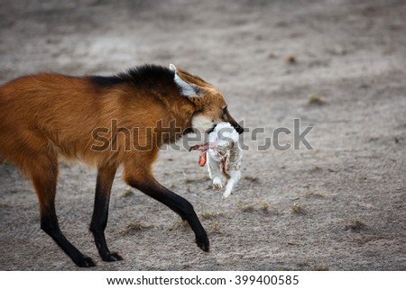 Red wolf running with prey in his mouth - stock photo