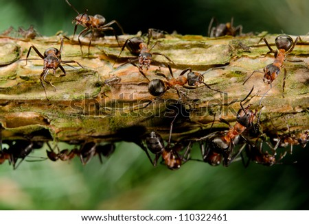 red wood ants on branch with aphids - stock photo