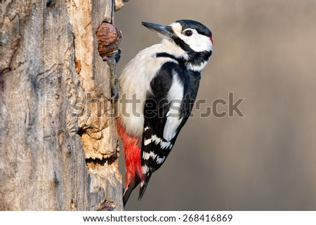 Red woodpecker while eating a nut - stock photo