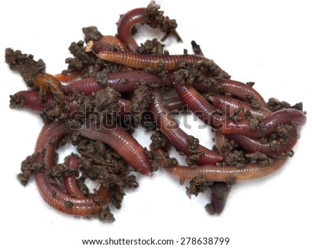 red worms from the ground on a white background - stock photo