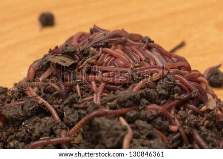 Fishing worm stock images royalty free images vectors for Red worms for fishing