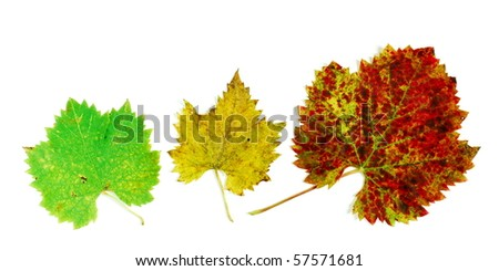 Red yellow and green grape leaves in a line photographed on white background