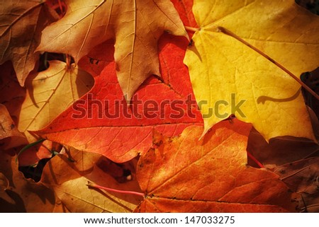Red, yellow and orange autumn leaves fall background, macro closeup. - stock photo