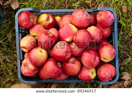 Red yellow apples just picked from an orchard, in a plastic crate on the grass