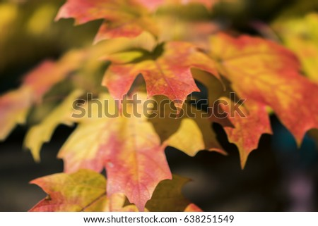 Red yellow autumn maple leaves macro texture