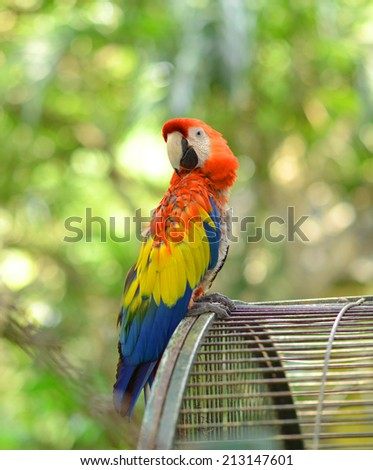 red yellow blue Macaw parrot outside the cage - stock photo