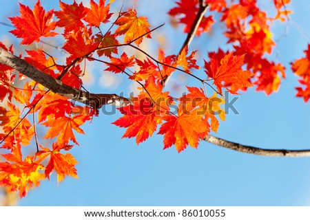 red yellow fall maple leafs illuminated by sun natural background - stock photo