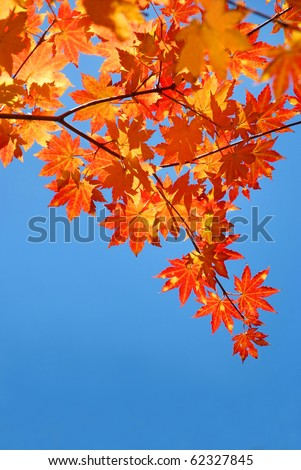 red yellow fall maple leafs over the blue sky - stock photo