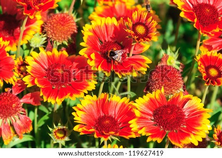 Red yellow FLowers with a bumblebee in the garden - stock photo