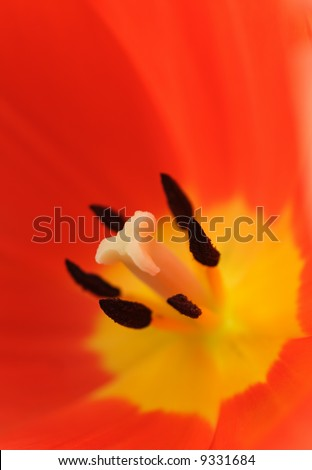 red yellow fresh tulip flower close up