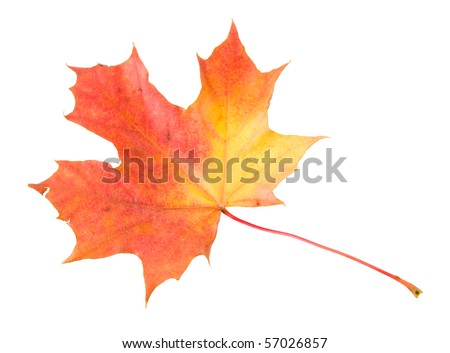 red-yellow maple leaf - stock photo