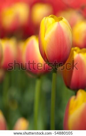 red-yellow tulip - stock photo