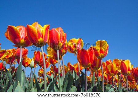 Red yellow tulip field in Holland - stock photo