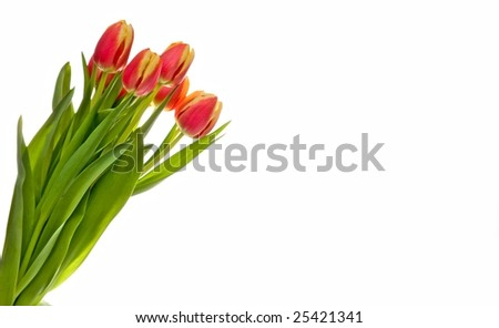 red-yellow tulip on a white background - stock photo