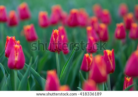 Red yellow tulips blooming in spring. Selective focus - stock photo