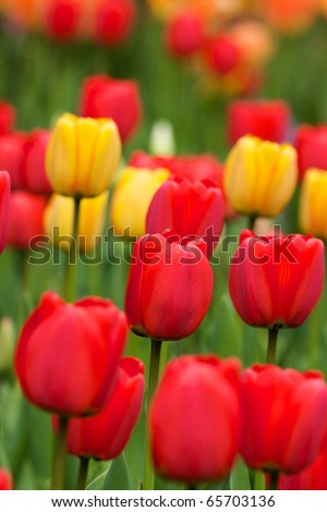 Red Yellow Tulips in bed - stock photo