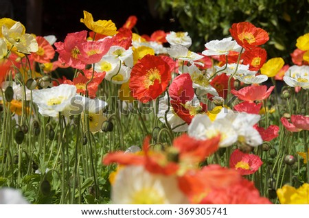 Red, yellow, white and red California poppies